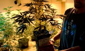 legal-weed-sales