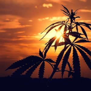 , USDA Open to Change Hemp Rules, but not THC Percents